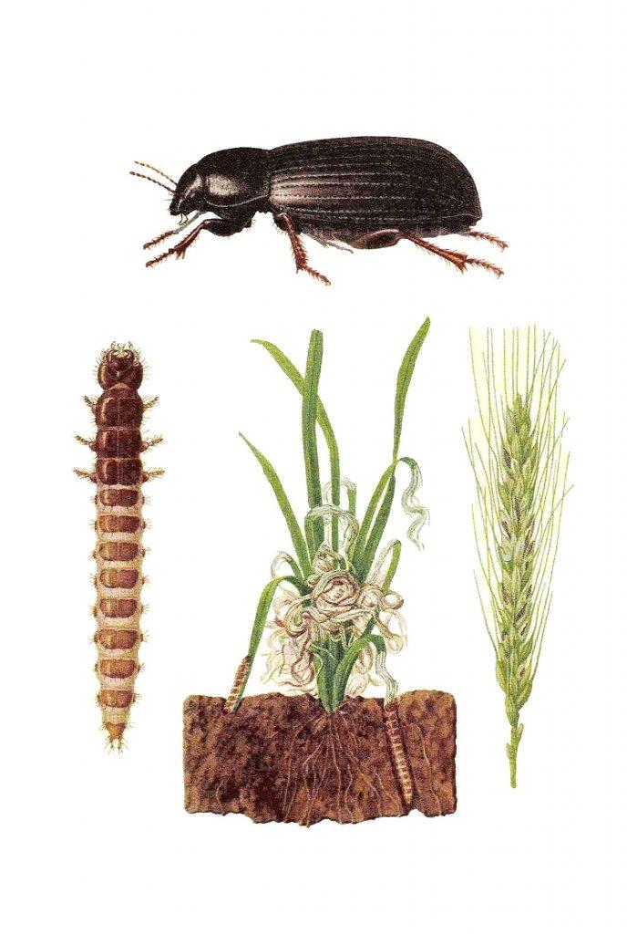 zabrus-tenebrioides