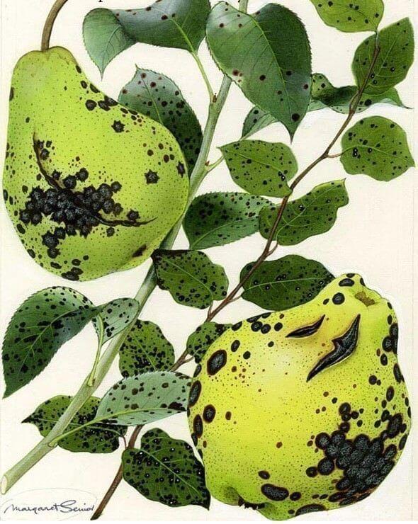 ayva-ve-armut-yaprak-yanikligi