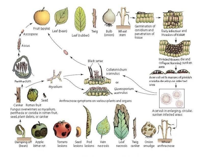 glomeralla-cingulata-life-cycle