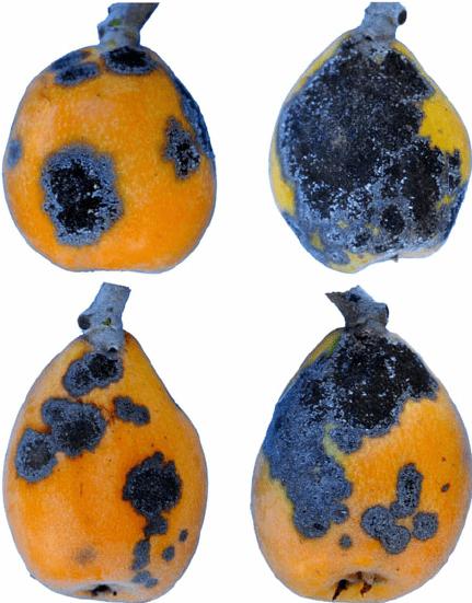 spilocaea-eriobotryae-min