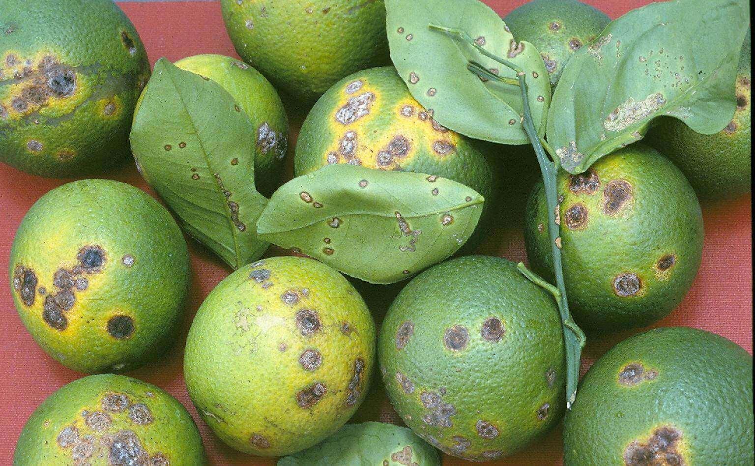 Photo of Turunçgillerde Kanser Hastalığı (Xanthomonas citri subsp. citri)
