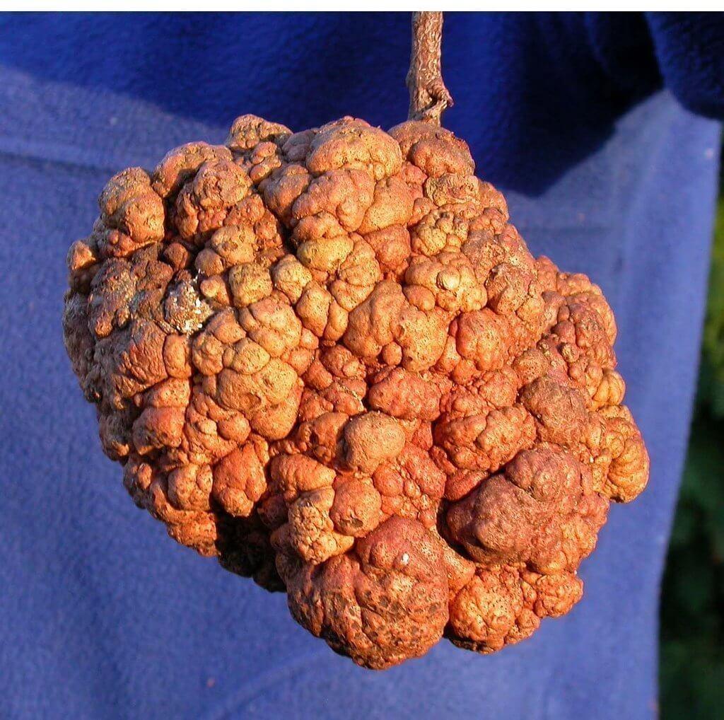 Photo of Sert ve yumuşak çekirdeklilerde kök uru hastalığı (Agrobacterium tumefaciens)