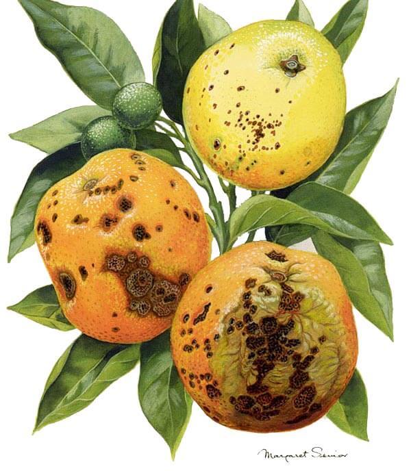 citrus-black-spot