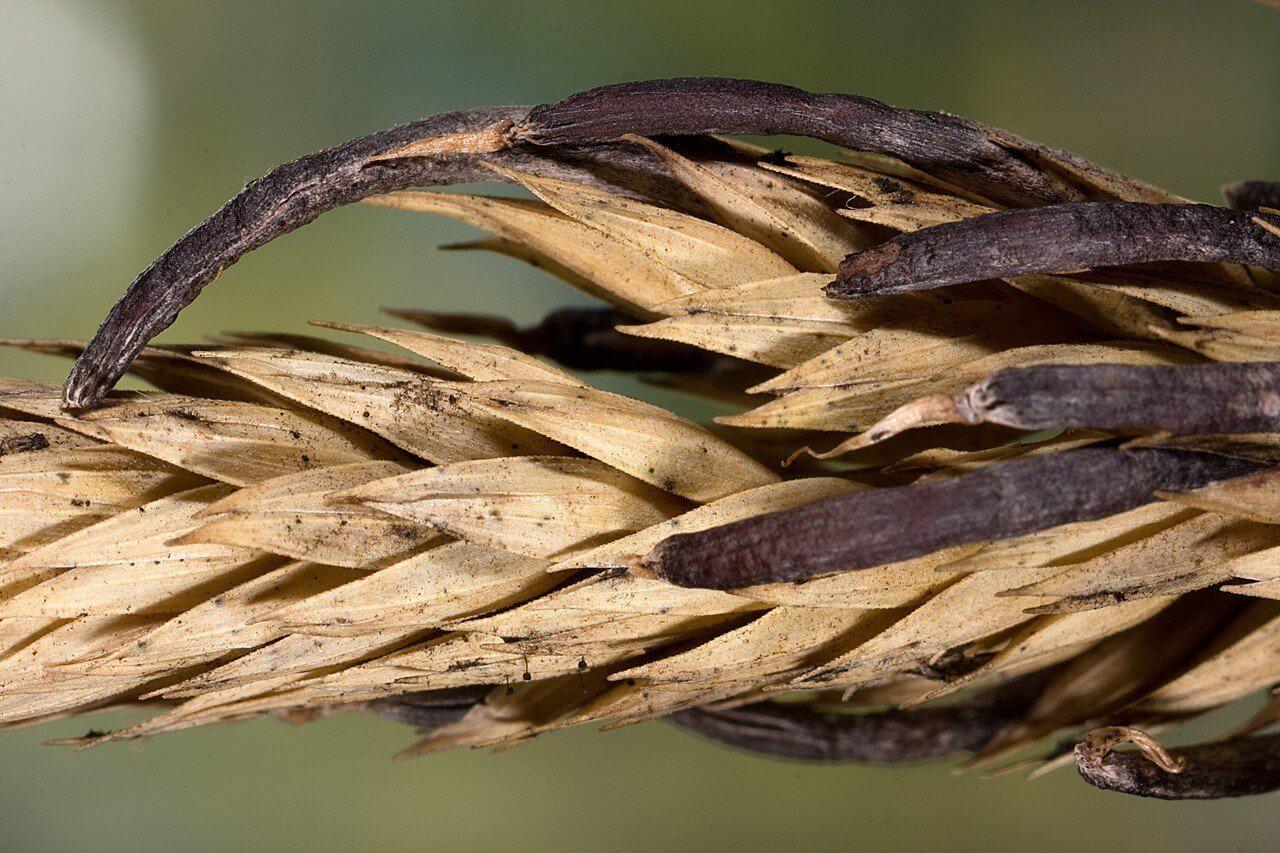 Photo of Çavdar mahmuzu hastalığı (Claviceps purpurea)