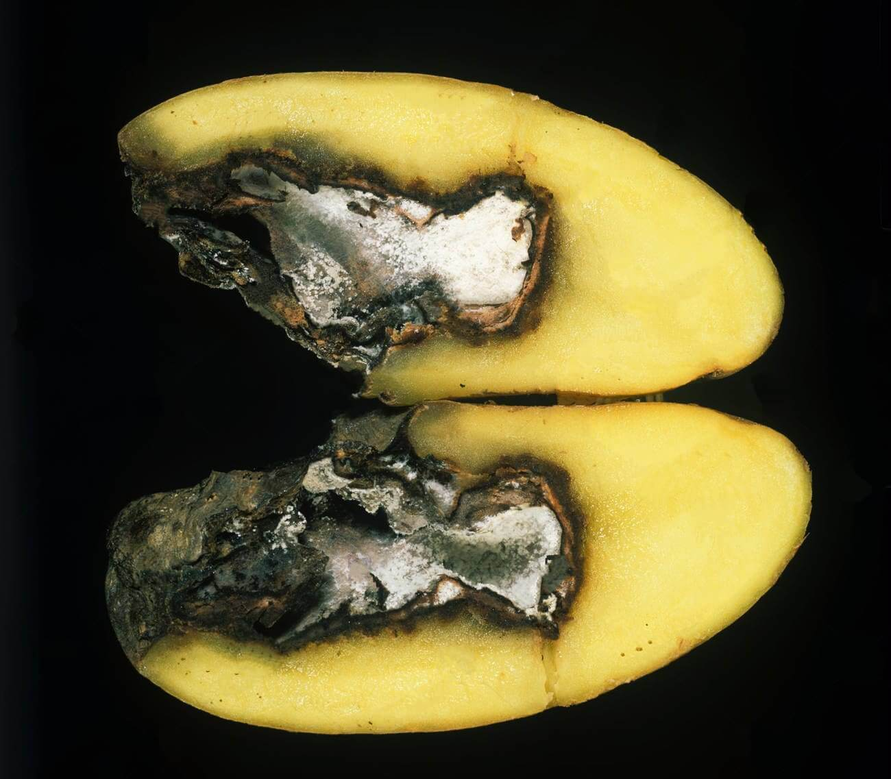 Photo of Patateste Depolama Döneminde Görülen Fungal Yumru Hastalıkları