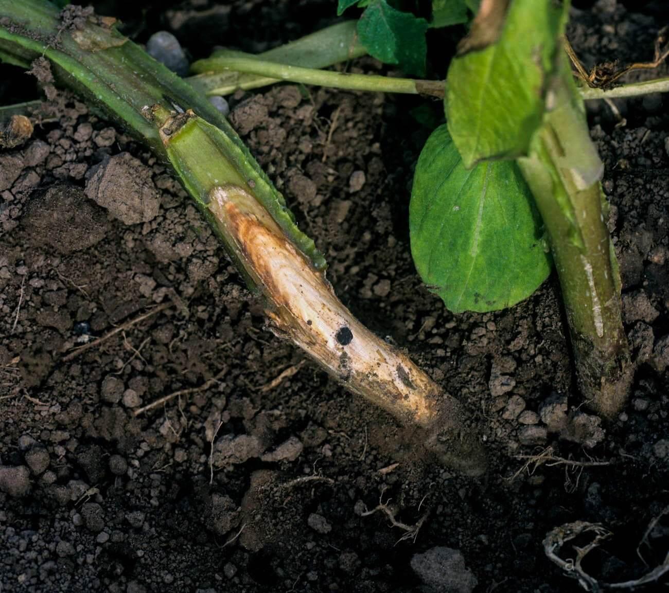 Photo of Patateste Sclerotinia Beyaz Çürüklüğü Hastalığı