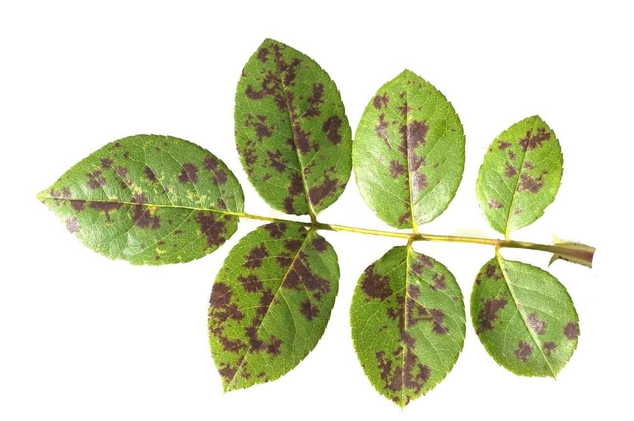 Yaprakların klorozu: açıklama, fotoğraf, mücadele yöntemleri