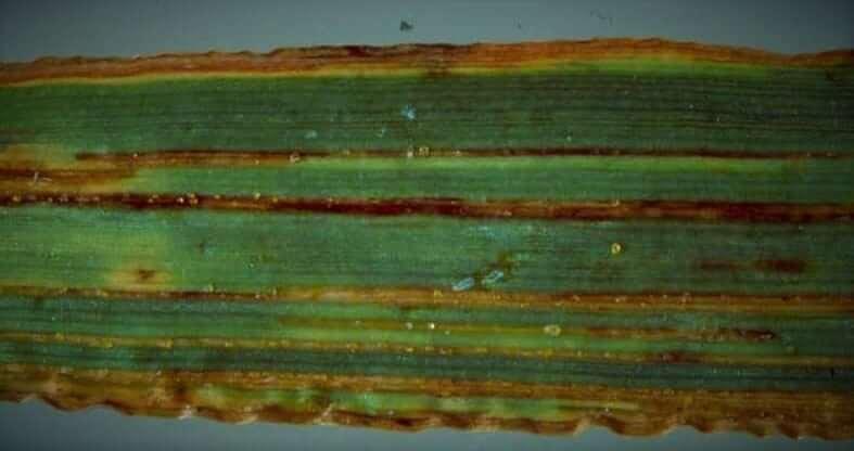 Photo of Tahıllarda Bakteriyel Yanıklık ve Çürüme hastalıkları