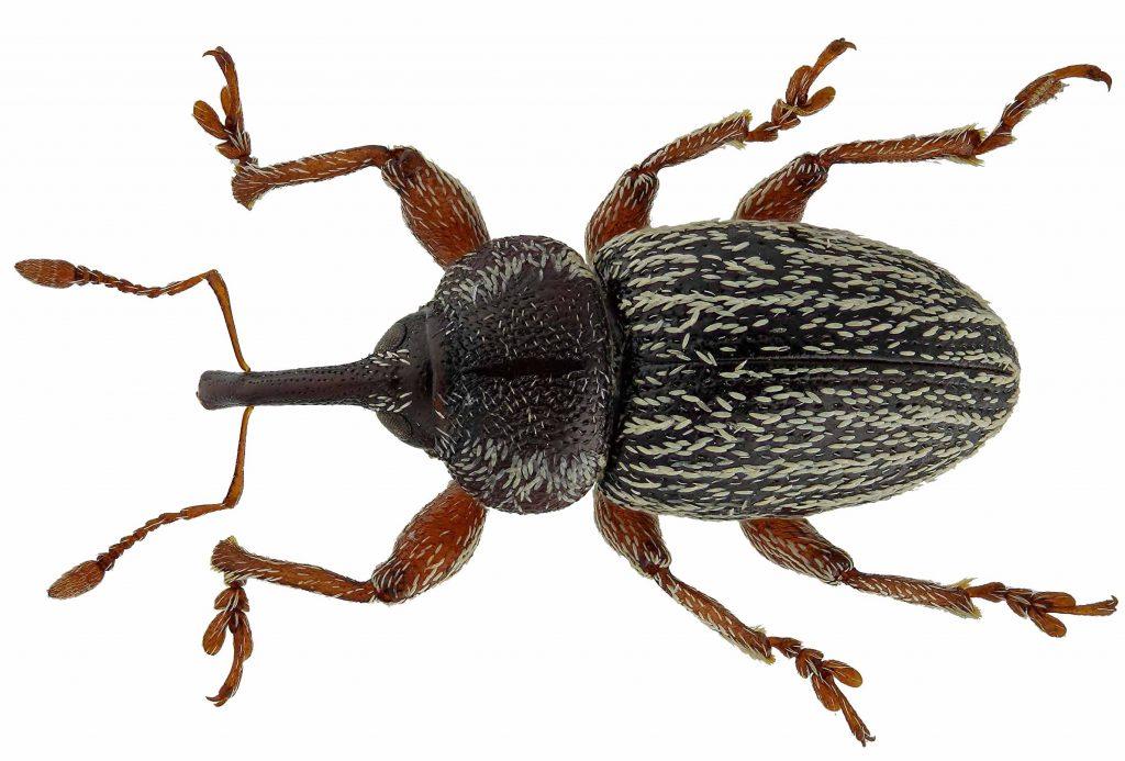 pachytychius-hordei