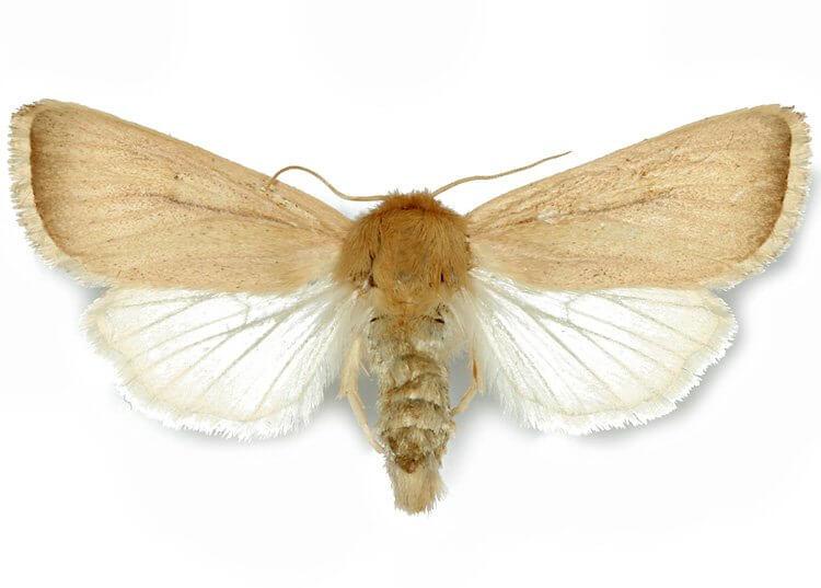 sesamia-nonagrioides