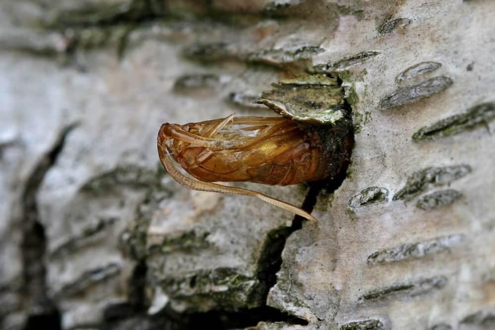 synanthedon-myopaeformis-pupa