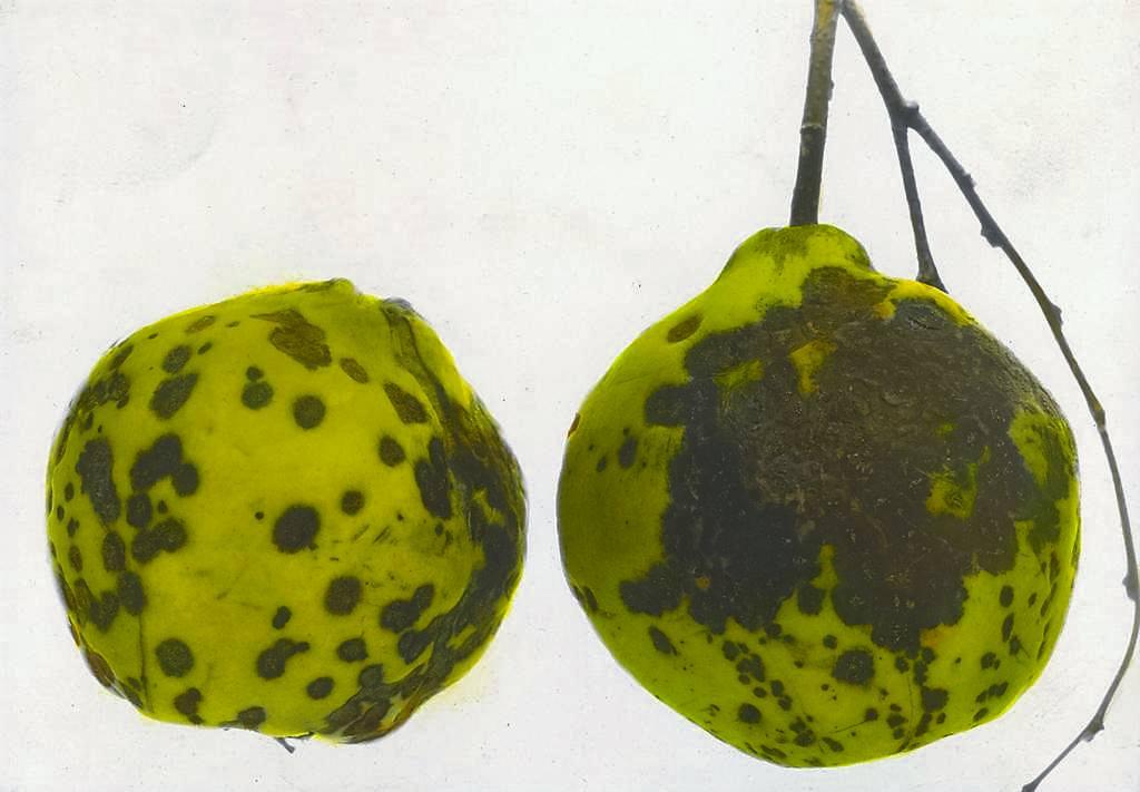 Photo of Ayva ve Armut Yaprak Yanıklığı Hastalığı (Diplocarpon maculatum)