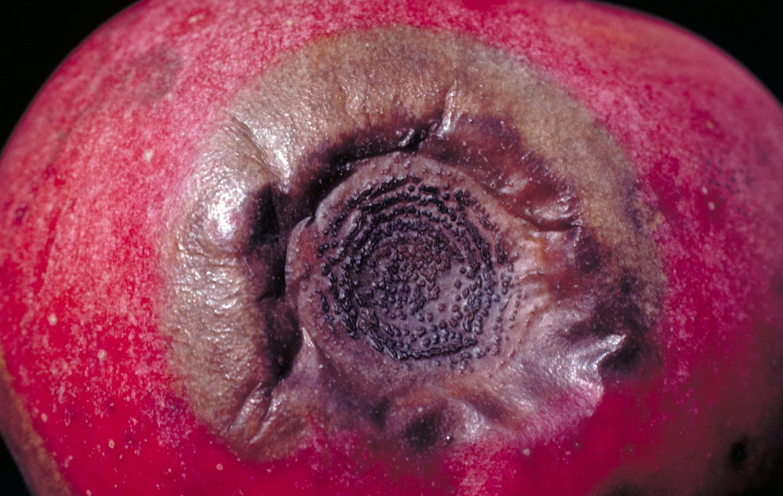 Photo of Elma Acı Çürüklük Hastalığı (Glomerella cingulata) (imp:Colletotrichum gloeosporioides)