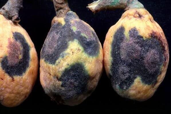 spilocaea-eriobotryae-3