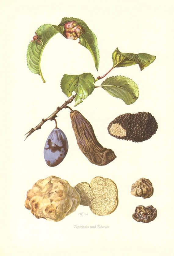 Şeftali Yaprak Kıvırcıklığı Hastalığı (Taphrina deformans)