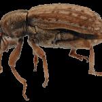 Yonca Hortumlu Böceği (Hypera postica)