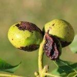 Ceviz Antraknoz Hastalığı (Ophiognomonia leptostyla)