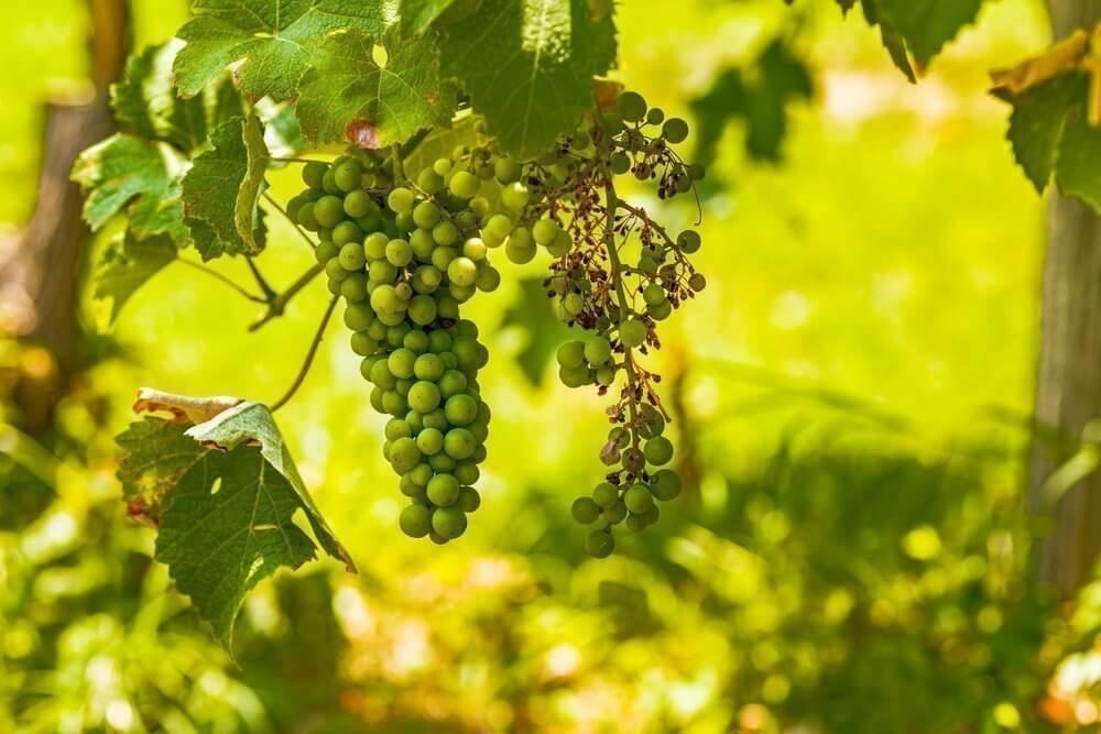 Photo of Bağ Mildiyö Hastalığı (Plasmopara viticola)